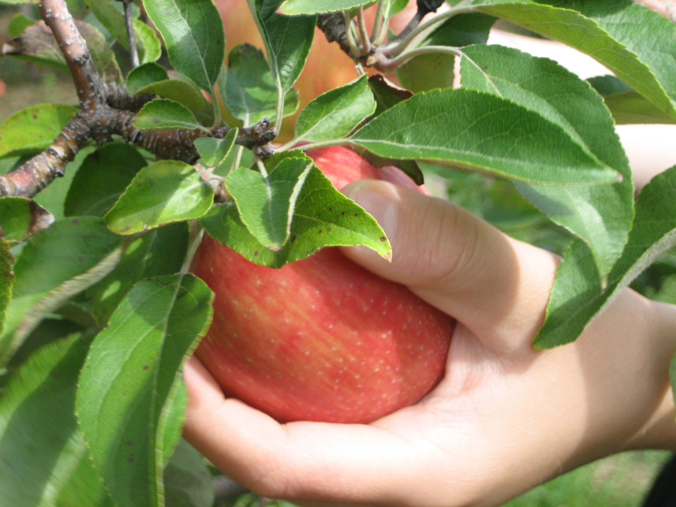 Analysis of Poem After Apple-Picking by Robert Frost
