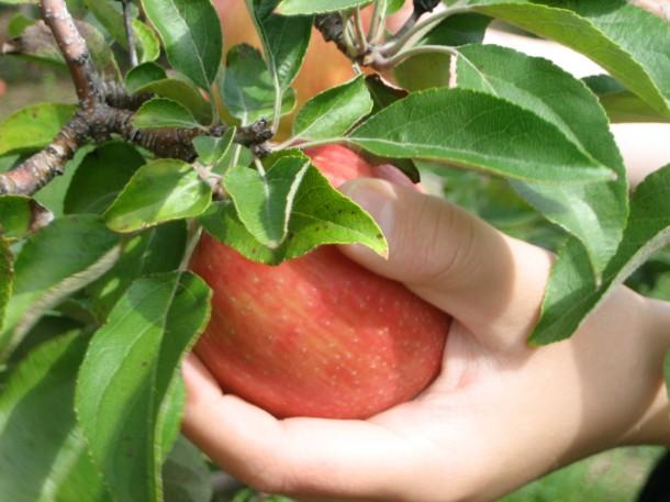 An Italian Handful...of Apple!