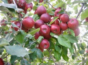 Delicious Apples on a Bough